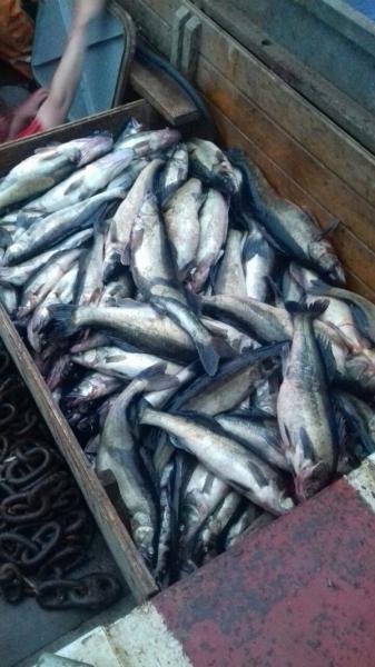 Браконьерство: Браконьеры не дают покоя ладожскому судаку