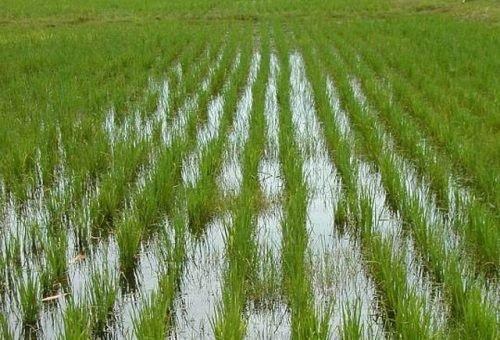 Рисовые чеки в кирпильских лиманах