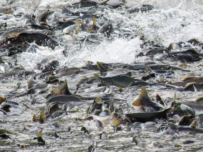 Рыба на нересте