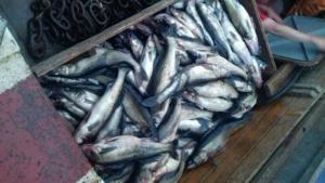 Браконьерство: На Ладоге браконьеры поймали в сети 365 судаков