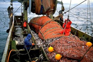 Промысел: 400 000 тонн беригновоморского минтая будет добыто в 2018 году по мнению учёного совета