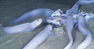 На глубине 8 км обнаружены новые виды рыб