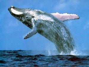"""""""Кит может подойти и потереться об лодку — так у нас происходит знакомство"""": российские ученые рассказали об изучении сахалинских серых китов"""