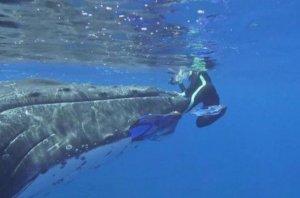 Горбатый кит защитил женщину от акулы (видео)