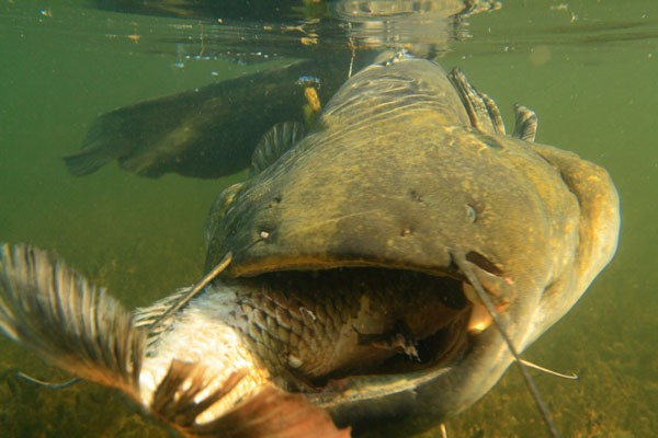 Рыба сом, повадки сома и на что он клюет (ВИДЕО)